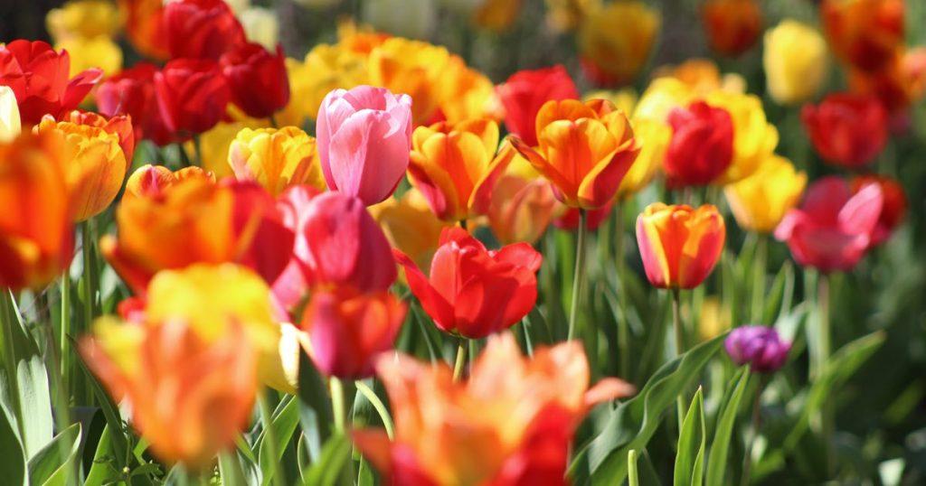 Bild von einer Wiese mit bunten Tulpen. Symbol für den Frühling.